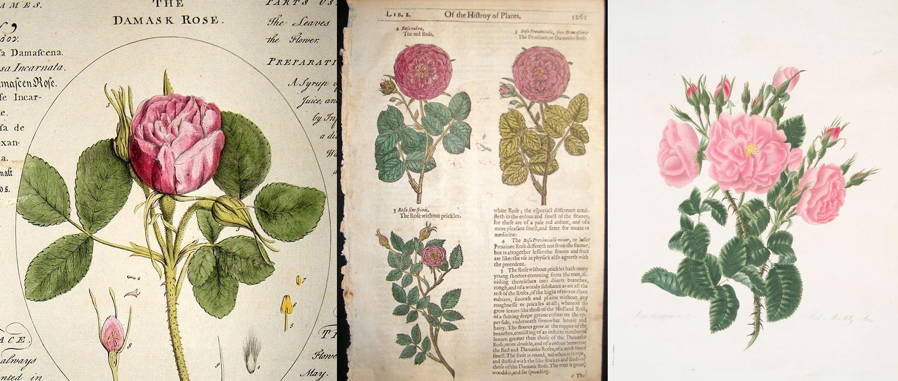 Произходът на българската роза: от Дамаск до Казанлък