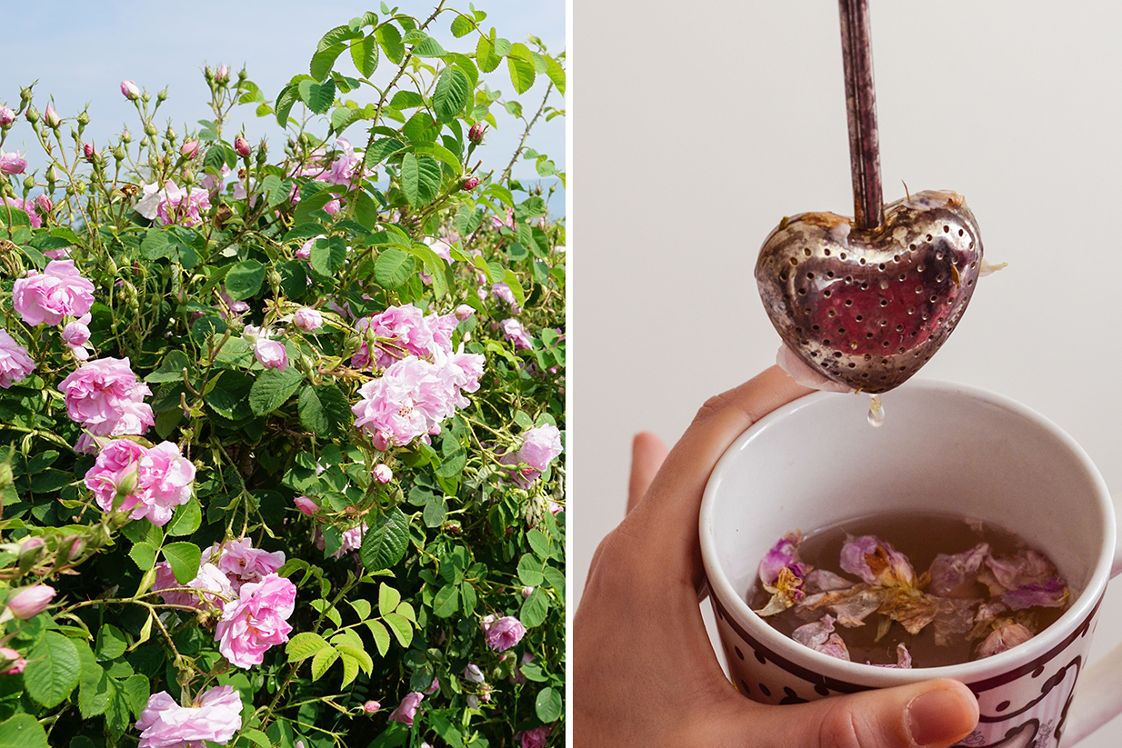 Rose-picking 2017 or the path of roses from the rose bush to your cup of tea