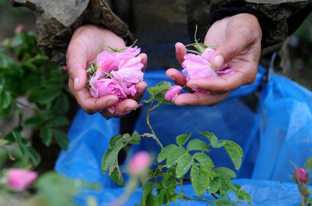 bulgarian-rose-gathering