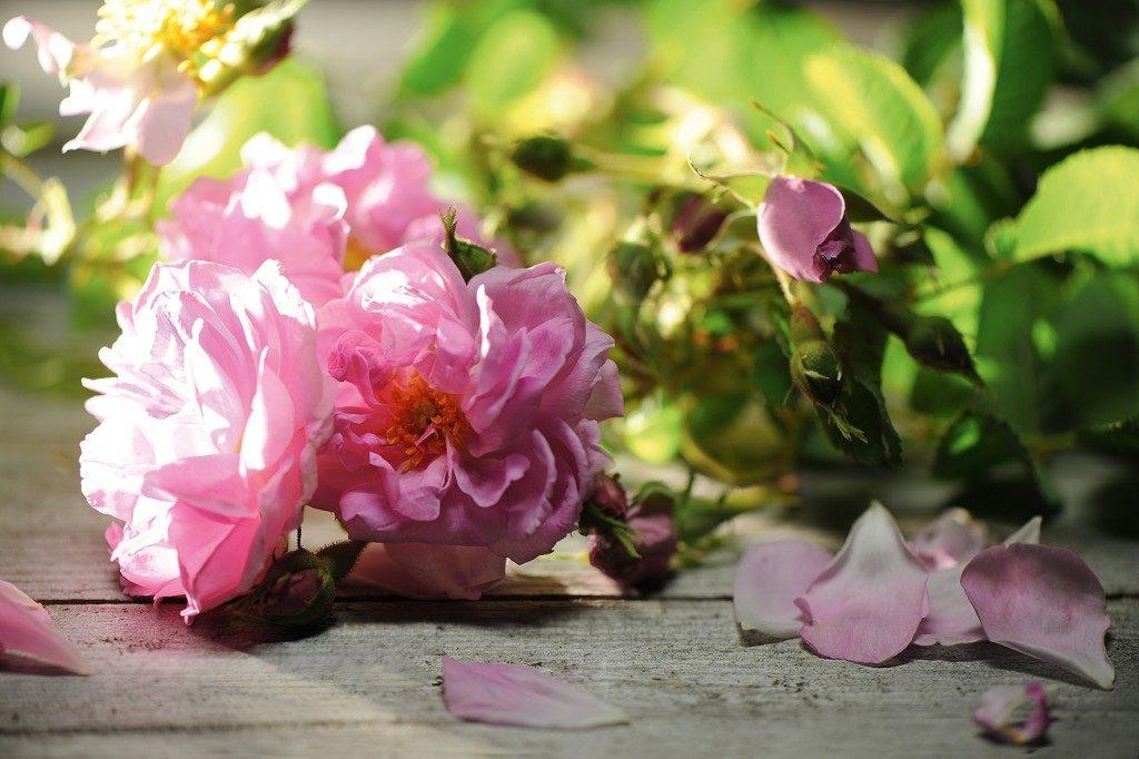 rosa-damascena-blossom