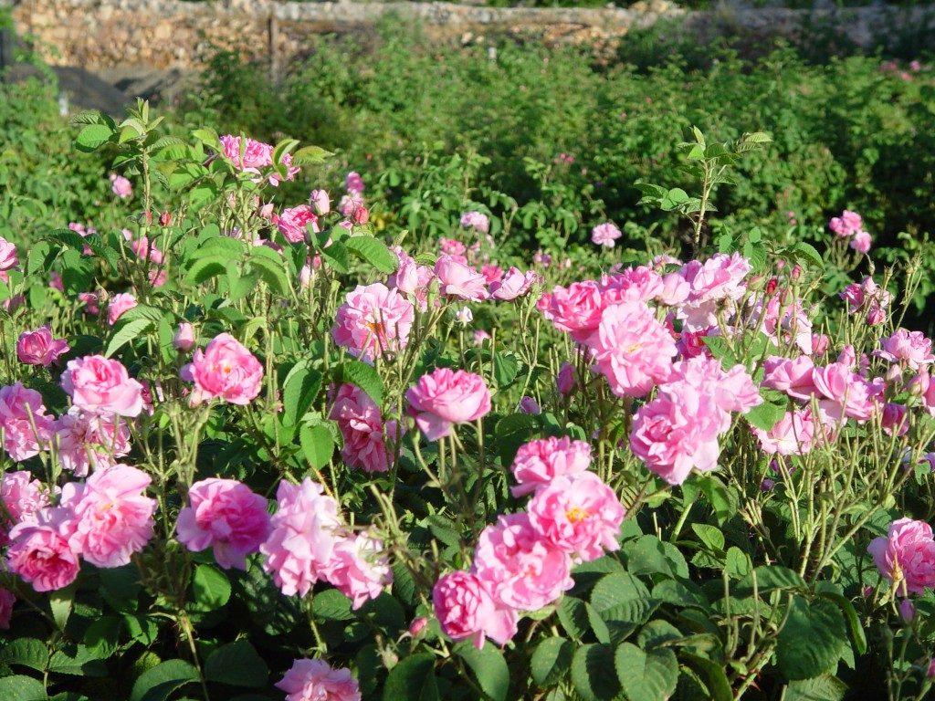 rosa-damascena-fields