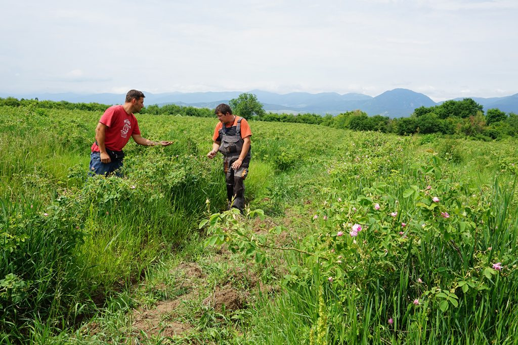 organic rose farming